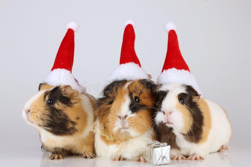 Tres conejillos de Indias con los sombreros de santa foto de archivo libre de regalías
