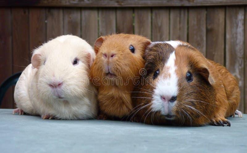Tres conejillos de Indias en fila imagenes de archivo