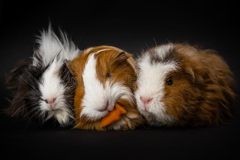 Tres conejillos de Indias que comen una zanahoria foto de archivo