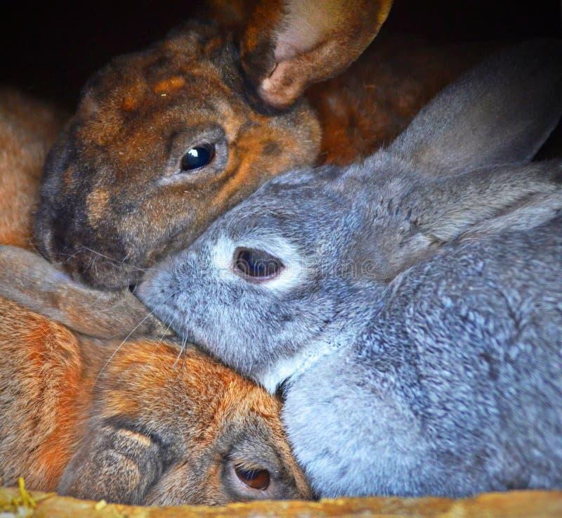 Tres conejos, abrazo apretada, se acurrucan con uno a foto de archivo