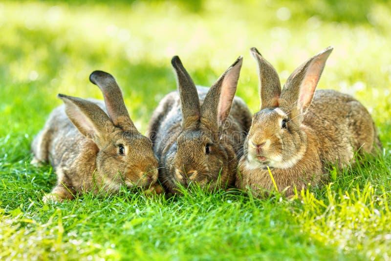 Tres conejos de Brown fotos de archivo