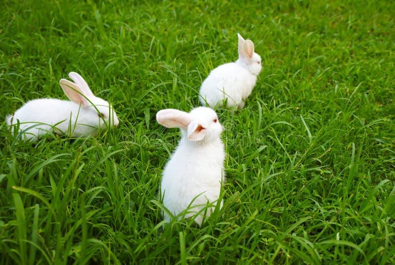 Tres conejos en el césped fotos de archivo