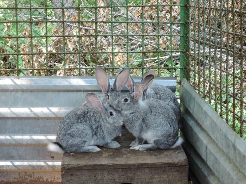Tres conejos grises que se sientan en una jaula imágenes de archivo libres de regalías