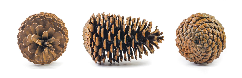Tres conos aislados del pino fotografía de archivo libre de regalías
