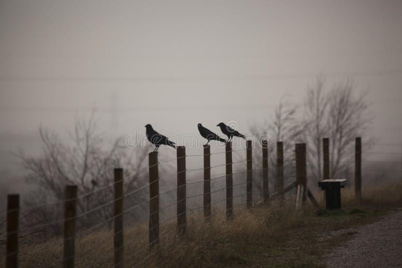 Tres cuervos en la niebla fotografía de archivo