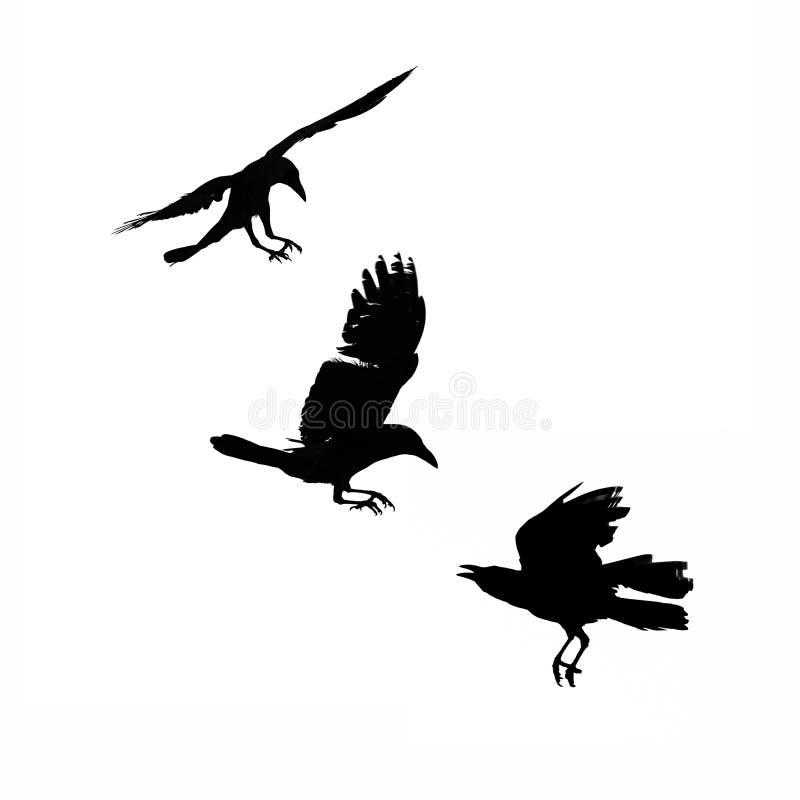 Tres cuervos que vuelan, silueta aislada imagenes de archivo