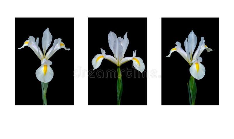 Tres de lirios de una clase en negro imagenes de archivo