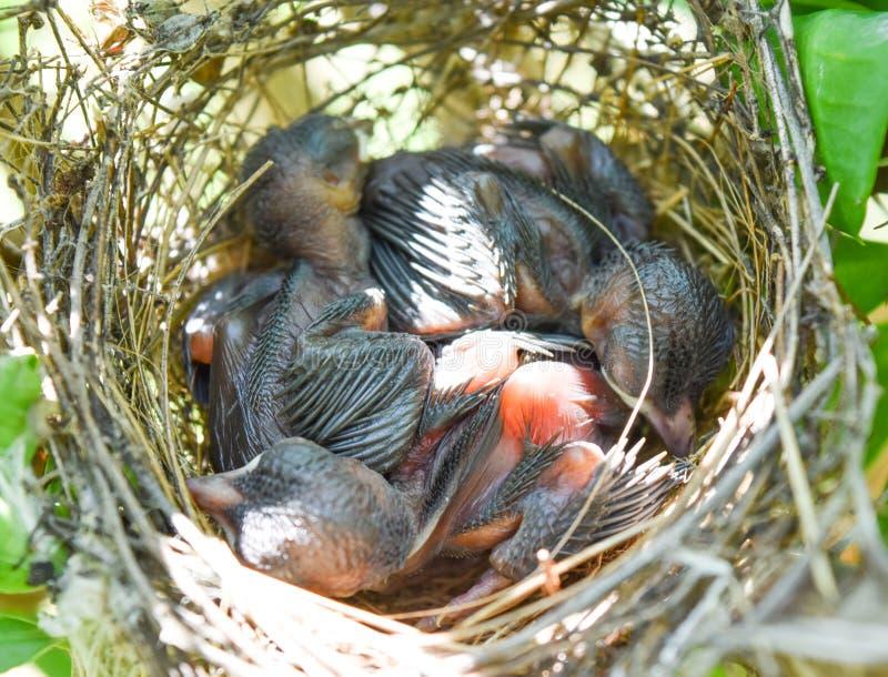 Tres de pájaros de bebé están durmiendo en la jerarquía imagenes de archivo