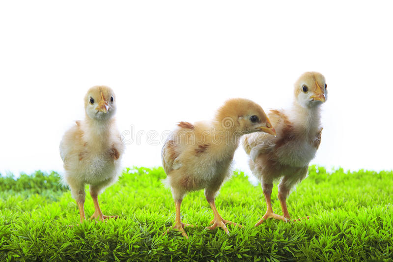 Tres del pequeño polluelo amarillo del niño que se coloca en el verde artificial GR imagen de archivo libre de regalías