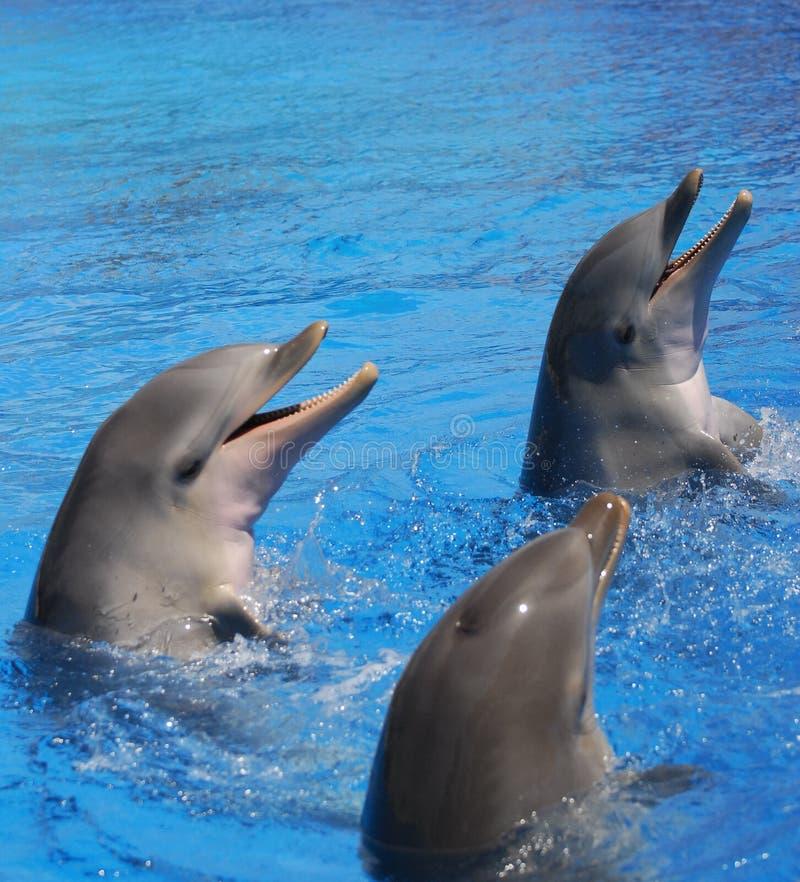 Tres delfínes de Bottlenosed que juegan en agua imagen de archivo libre de regalías
