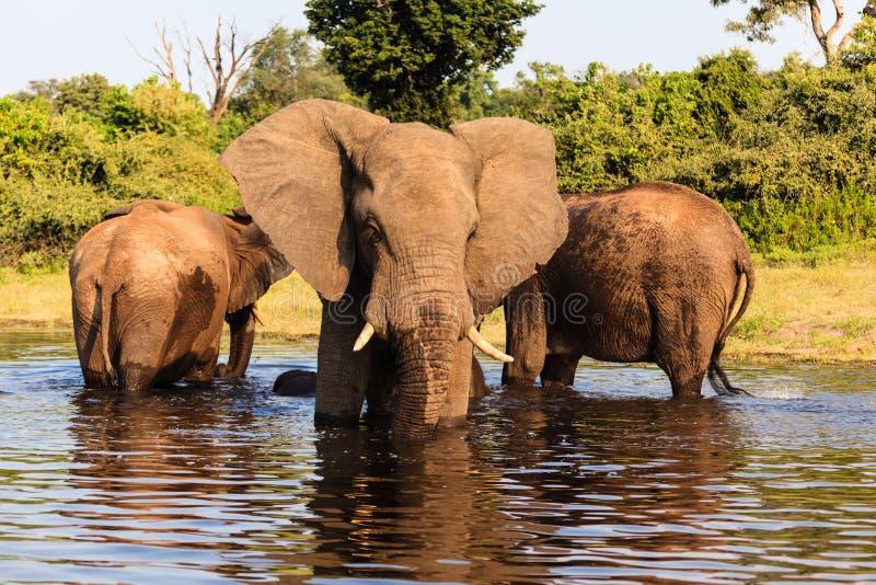 Tres elefantes africanos se colocan en el río en el parque nacional de Chobe, Botswana fotos de archivo