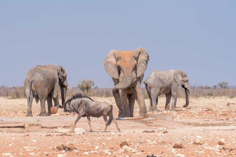 Tres elefantes africanos y ñu azul en el wat de Rateldraf imágenes de archivo libres de regalías