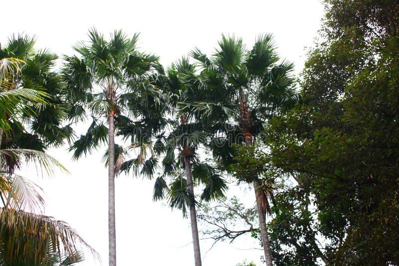 Tres en la palmera del árbol imagenes de archivo