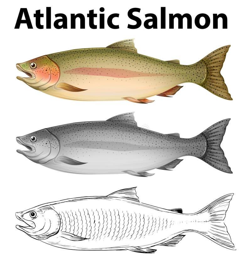 Tres estilos de dibujo del salmón atlántico ilustración del vector