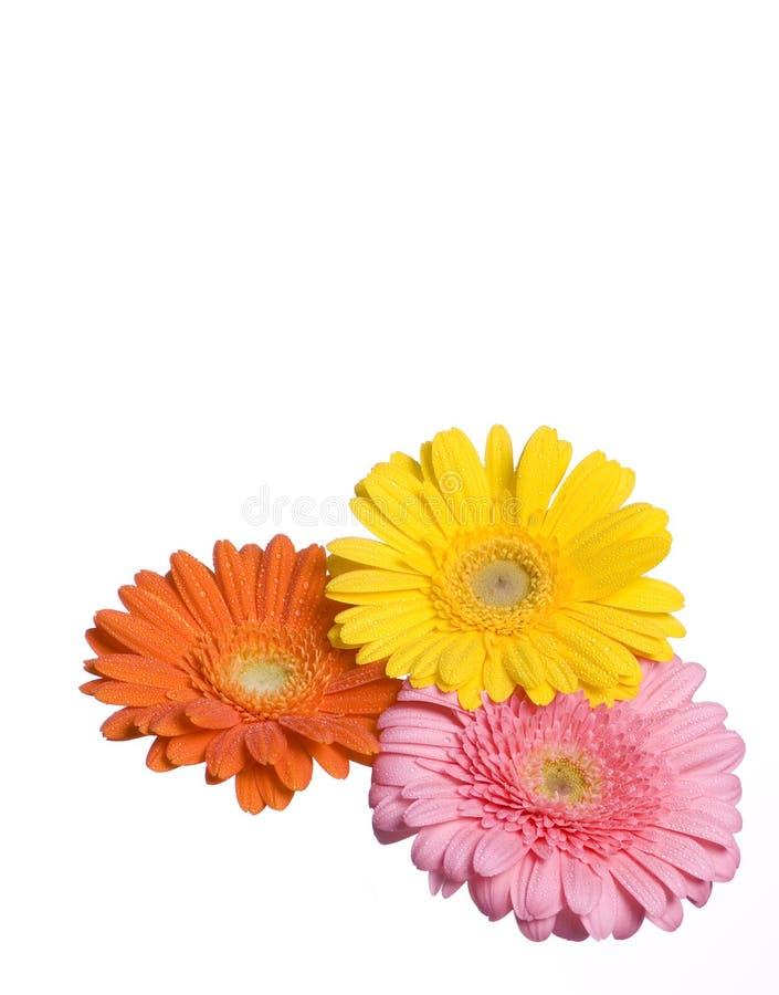 Tres flores aisladas fotos de archivo libres de regalías