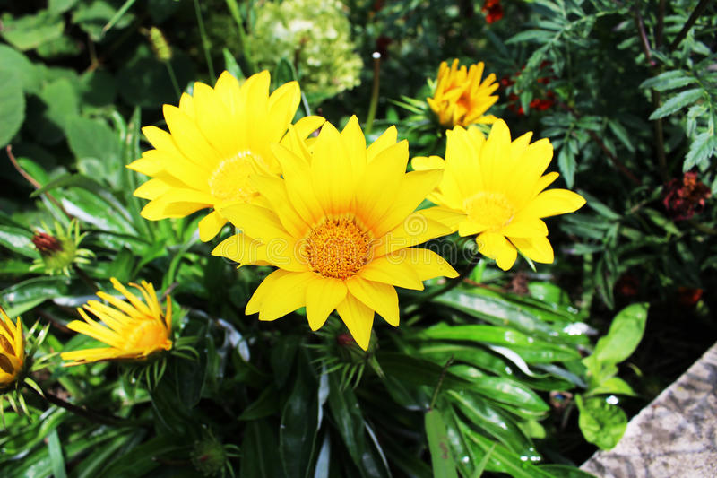 Tres flores amarillas fotografía de archivo
