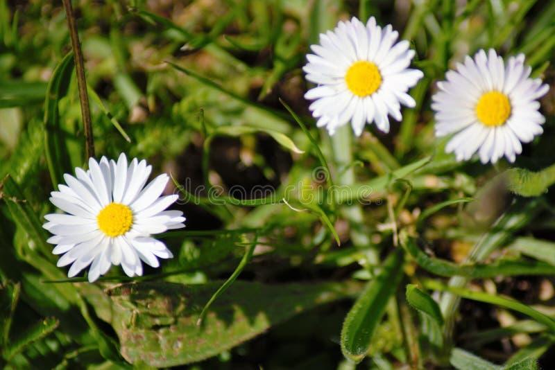 Tres flores blancas y amarillas hermosas imagenes de archivo