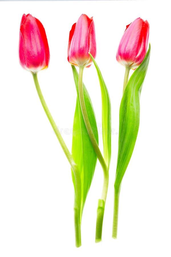 Tres flores coloridas rojas de los tulipanes aisladas en el fondo blanco Mothersday o concepto de la primavera fotos de archivo