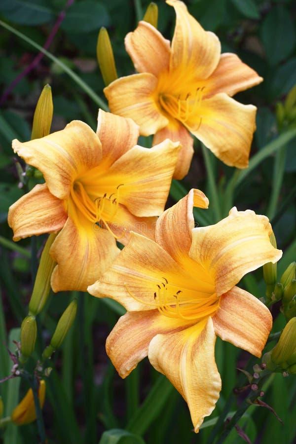 Tres flores de un hemerocallis imagen de archivo
