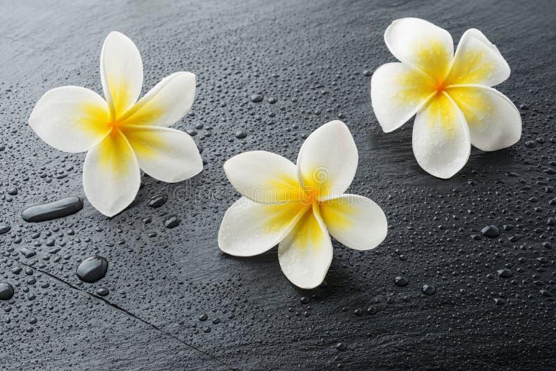 Tres flores del balneario del plumeria del Frangipani foto de archivo libre de regalías