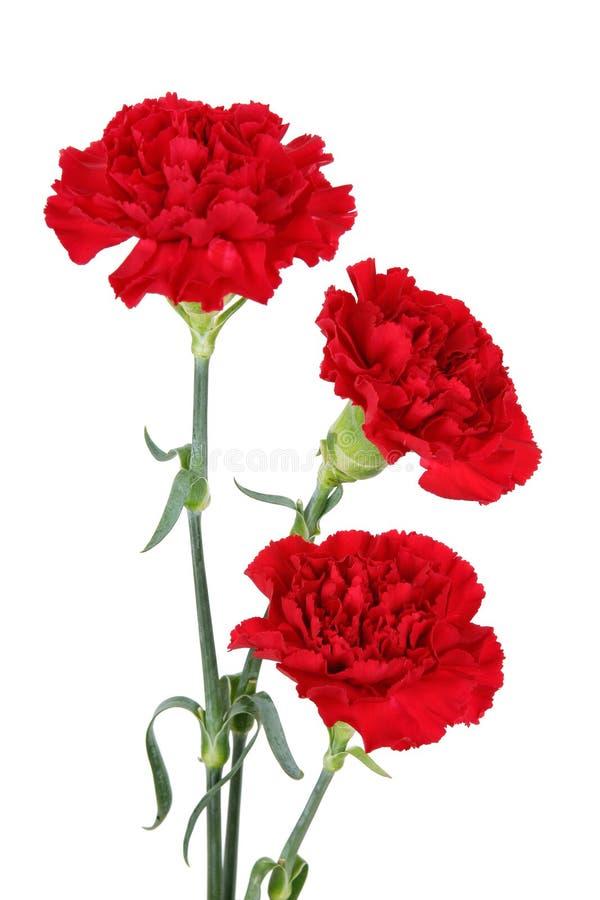 Tres flores del clavel imagen de archivo libre de regalías