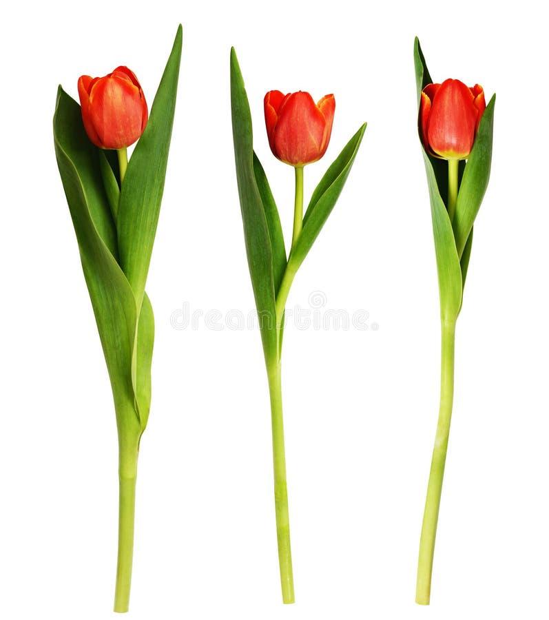 Tres flores rojas del tulipán imagen de archivo libre de regalías