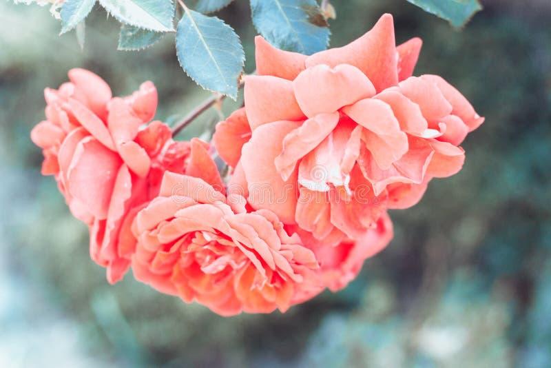 Tres flores rosadas románticas abstractas de las rosas Fondo floral Estilo del vintage que procesa imagen imágenes de archivo libres de regalías