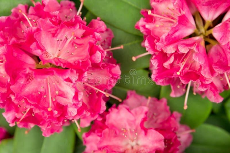 Tres flores rosados de un rododendro delante de las hojas verdes imagen de archivo libre de regalías