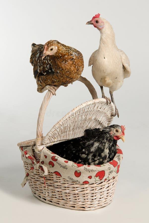 Tres gallinas con la cesta de la comida campestre fotos de archivo