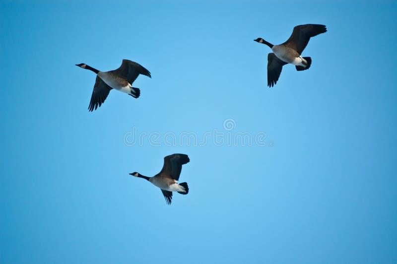 Tres gansos de Canadá en vuelo foto de archivo