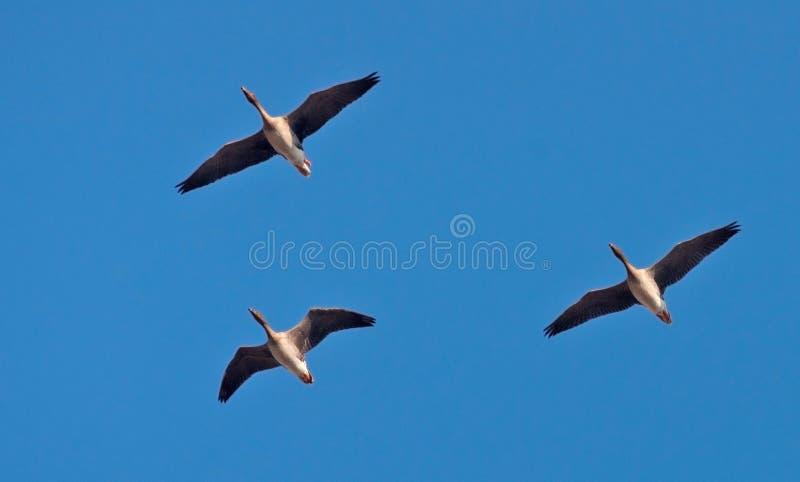 Tres gansos de la haba vuelan arriba en cielo azul fotos de archivo libres de regalías