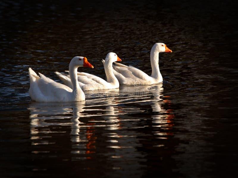 Tres gansos de nieve fotografía de archivo