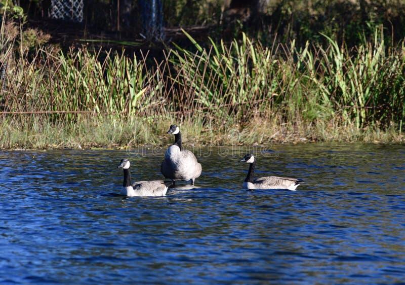 Tres gansos en una charca fotos de archivo