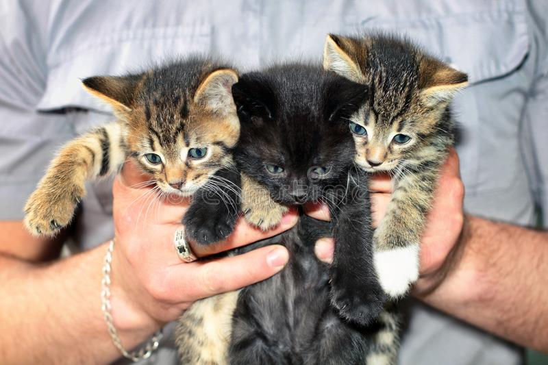 Tres gatitos lindos en las manos masculinas imagen de archivo