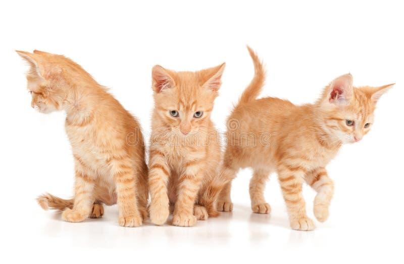Tres gatitos rojos imagen de archivo
