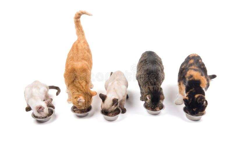 Tres gatos adultos y dos gatitos que comen fuera de los cuencos del metal imagen de archivo libre de regalías