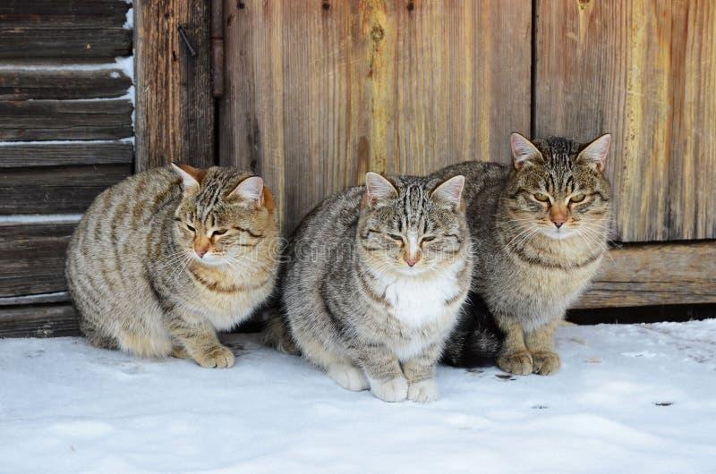 Tres gatos idénticos se sientan en un pórtico de madera fotografía de archivo libre de regalías