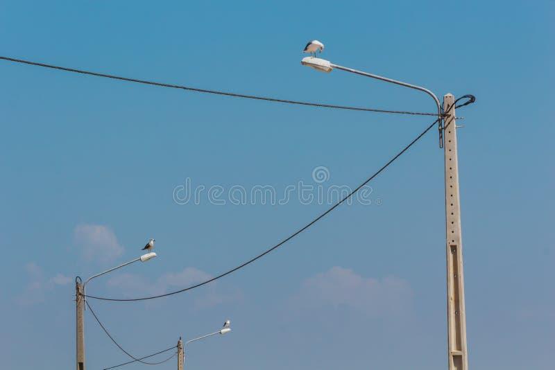 Tres gaviotas encima de las lámparas de calle conectadas con las líneas eléctricas fotografía de archivo