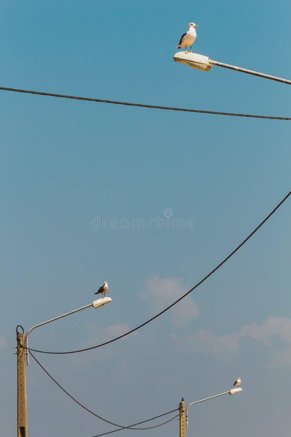 Tres gaviotas encima de las lámparas de calle conectadas con las líneas eléctricas foto de archivo