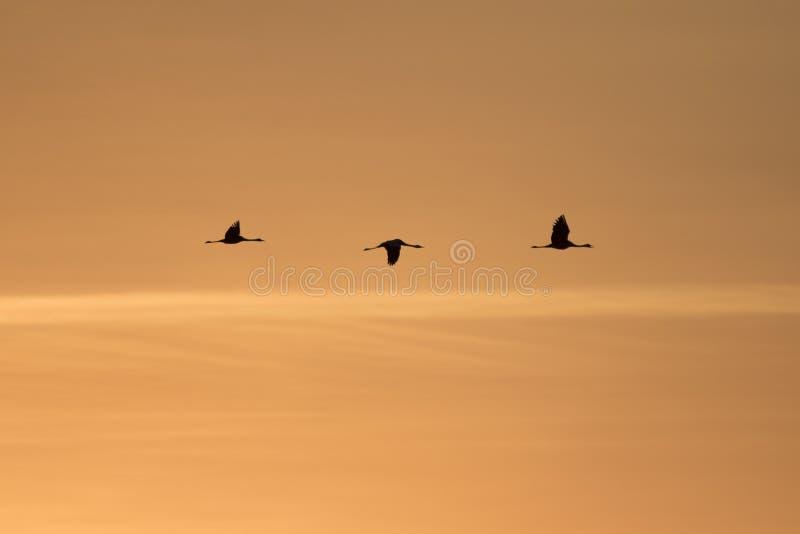 Tres grúas hermosas que vuelan adentro al sistema del sol que va al lugar roosting en los colores hermosos de la puesta del sol fotos de archivo