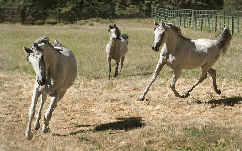 Tres Grey Arabian Horses Running Free foto de archivo libre de regalías