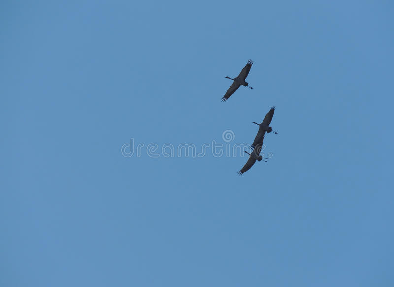Tres Grey Herons foto de archivo