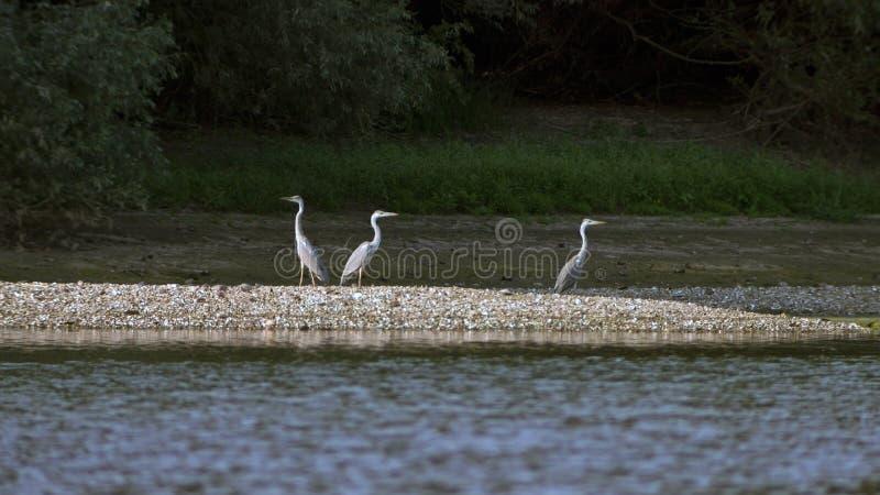 Tres Grey Herons que se encarama en el banco de arena fotografía de archivo libre de regalías
