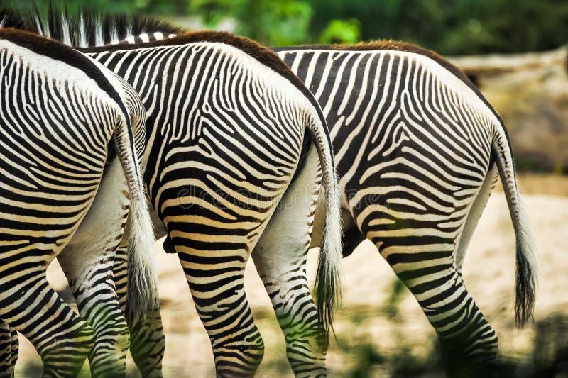 Tres halfs de las cebras en el parque zoológico grasing cerca de uno a imagen de archivo
