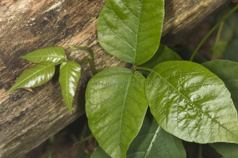 Tres hojas brillantes de hiedra venenosa en el coto de Belding en Connecti imagen de archivo
