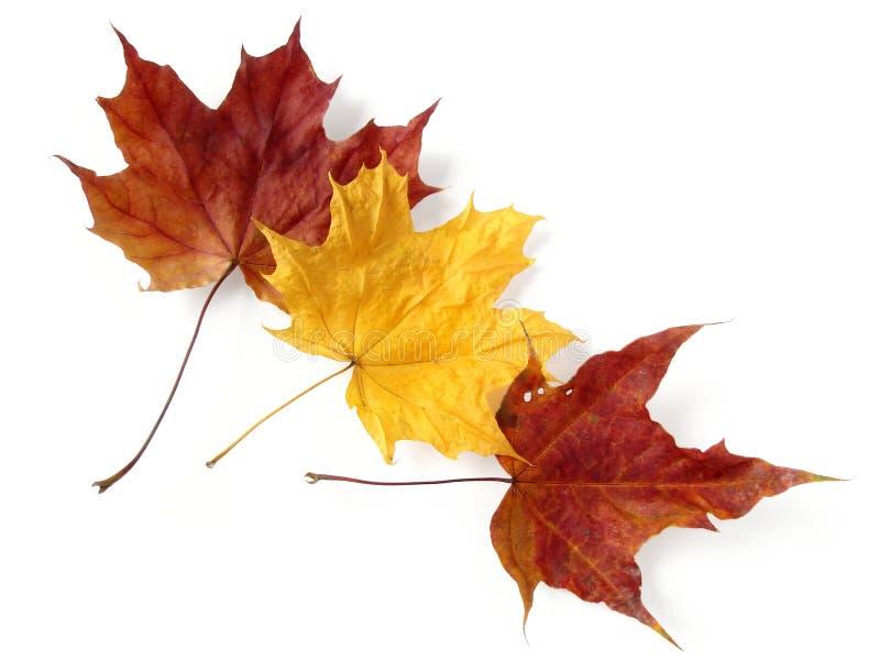 Tres hojas de arce imagenes de archivo