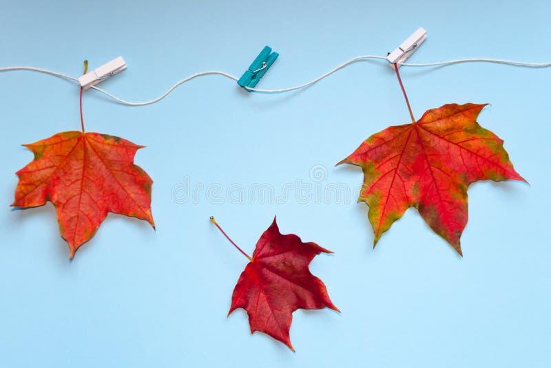 Tres hojas de arce coloreadas brillantes se atan con las pinzas a la cuerda uno de ellos caídas El concepto de otoño terminación fotografía de archivo libre de regalías