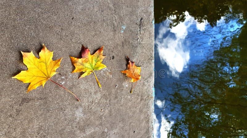 Tres hojas de arce coloridas caidas en la frontera sucia áspera del cemento imagen de archivo libre de regalías