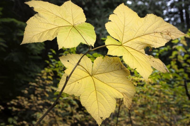 Tres hojas de arce de la vid fotos de archivo
