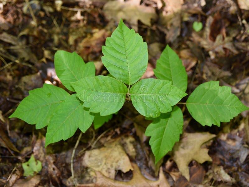 Tres hojas de la hiedra venenosa en el piso del bosque fotos de archivo libres de regalías